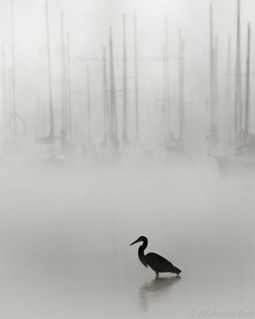Photography, black and white / nautical / heron / fog / sailboats / Great Blue on Grey / 8 x 10 print