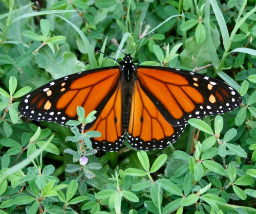 resting-female-monarch-butterfly